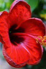 Red hibiscus close-up, petals, pistil