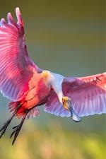 Roseate spoonbill, flight, wings