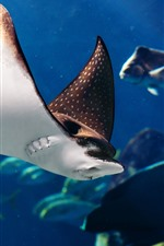 Preview iPhone wallpaper Sea animal, manta ray fish
