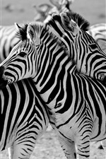 Preview iPhone wallpaper Some zebras, Africa