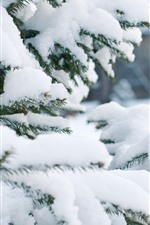 Spruce, thick snow, winter