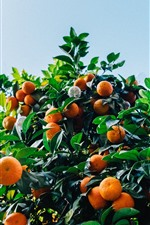 Preview iPhone wallpaper Tangerines tree, harvest