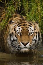 Tigre, face, olhar, grama, água