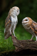 Two cute owls, birds