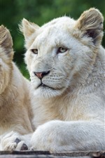 Two white lions, rest