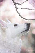 Preview iPhone wallpaper White dog, head, pink sakura bloom