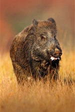 Preview iPhone wallpaper Wild boar, yellow grass
