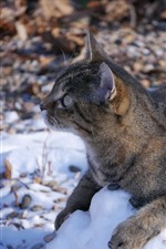 Preview iPhone wallpaper Wildcat, snow, winter