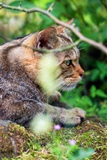 Wildcat, twigs, nature