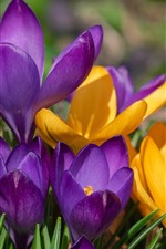 Yellow and purple crocus, spring flowers