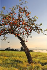 Apple tree, many ripe apples, grass, sunshine
