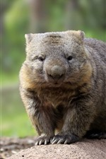 Australian Wombat, wildlife