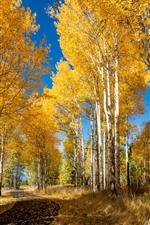 Autumn, birch, forest, golden leaves