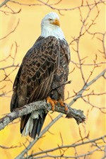 Preview iPhone wallpaper Bald eagle, tree, yellow background