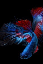 Beautiful blue fish, black background
