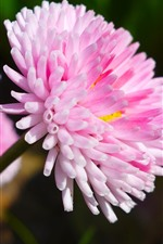 Beautiful pink flowers, petals, stem