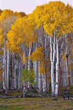 Birch, trees, yellow foliage, autumn