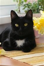 Black cat, yellow daffodils
