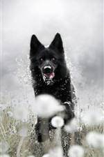 Black dog running, dandelion, hazy