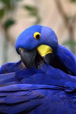 Preview iPhone wallpaper Blue feather parrot, wings