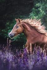 Brown horse running, lavender flowers