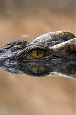 Crocodile, eyes, water