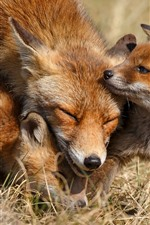 Preview iPhone wallpaper Cute fox, family, cubs