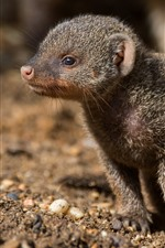 Preview iPhone wallpaper Cute mongoose cub