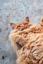 Fluffy cat, cute pet