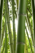 Green bamboo, nature