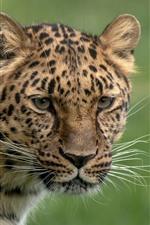 Leopardo, olha, cabeça, fundo verde