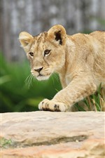 Preview iPhone wallpaper Lion cub
