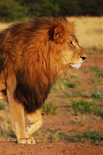Preview iPhone wallpaper Lion, mane, wildlife, Africa