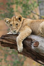 Preview iPhone wallpaper Lion rest, tree trunk