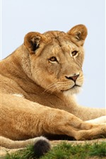 Preview iPhone wallpaper Lioness, wild life, rest, look back