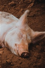 Preview iPhone wallpaper Little pig sleep on ground
