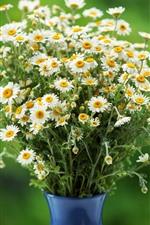 Many white chamomile, bouquet, vase