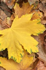Many yellow maple leaves, autumn