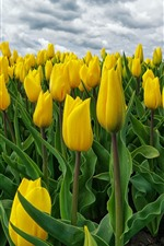 Many yellow tulips, flower field