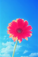 One red gerbera flower, blue sky