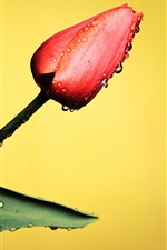 Preview iPhone wallpaper One red tulip, water droplets, yellow background