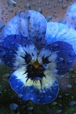 Preview iPhone wallpaper Pansy, water droplets, creative picture