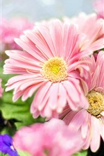 Preview iPhone wallpaper Pink daisy, spring flowers