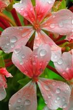 Flores cor de rosa, pétalas, gotas de água
