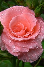 Pink roses, water droplets, hazy background