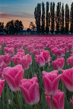 Preview iPhone wallpaper Pink tulips field, trees, house, dusk