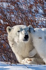 Polar bears, family, snow, bushes
