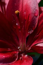 Preview iPhone wallpaper Red lily, petals close-up