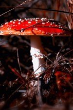 Preview iPhone wallpaper Red mushroom, white point