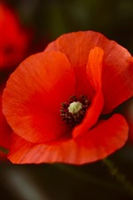 Preview iPhone wallpaper Red poppies, petals, flower close-up
